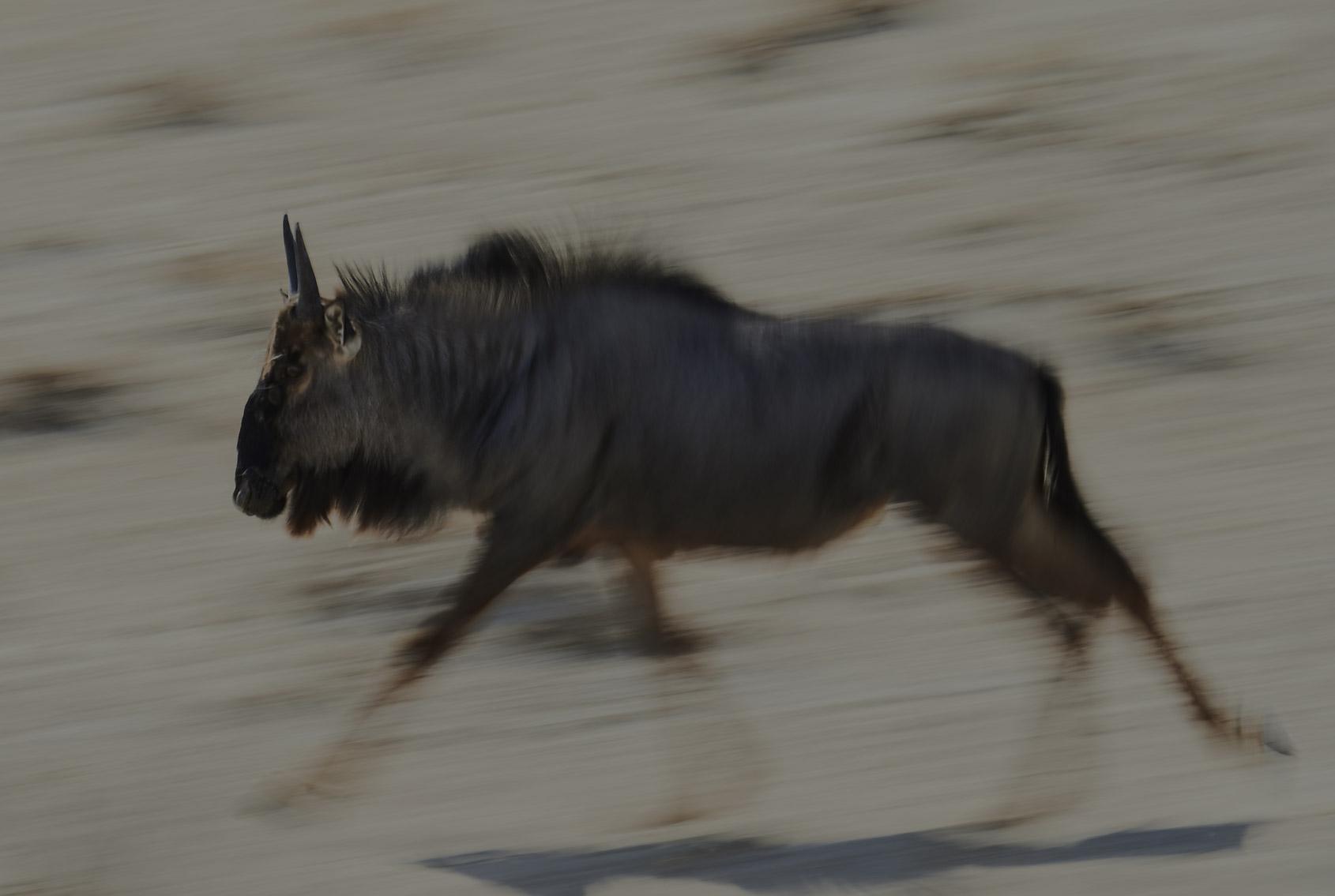 INSAFARI Namibia Gnu
